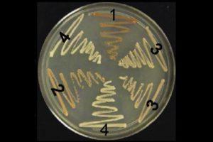 Levaduras cultivadas en el experimento de Lindquist. El tono más claro (4) indica mayor actividad priónica. Imagen de PNAS.