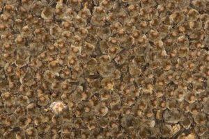 Colonia de murciélagos de cueva ('Miniopterus schreibersii'), la especie en la que se descubrió el virus de Lloviu. Imagen de Wikipedia.