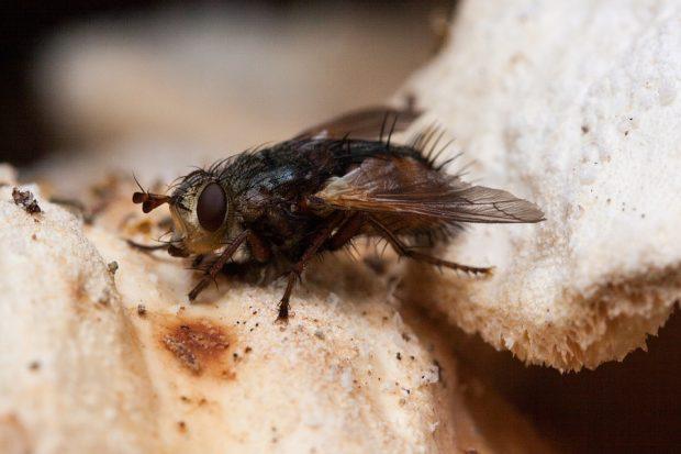 Una sarcofágida, mosca de la carne. Imagen de pixabay.com / dominio público.