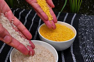 Arroz dorado (derecha). Imagen de Wikipedia.