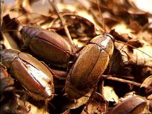 Cucarachas 'Diploptera punctata'. Imagen de Toronto University.