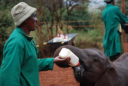 Un pequeño elefante huérfano toma su biberón en el David Sheldrick Wildlife Trust, en Nairobi (Kenya). Imagen de J. Y.