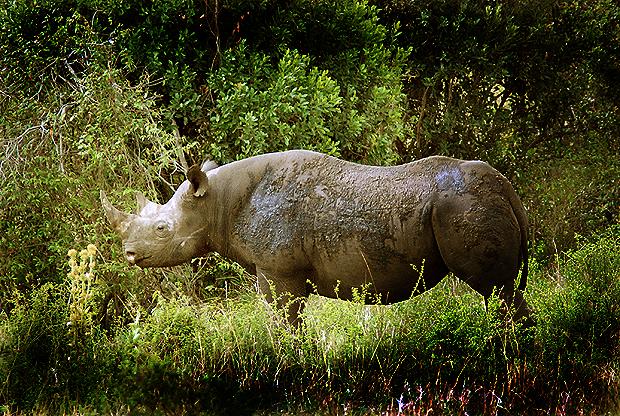 Un rinoceronte negro en la Reserva Nacional de Masai Mara (Kenya). Imagen de J. Y.