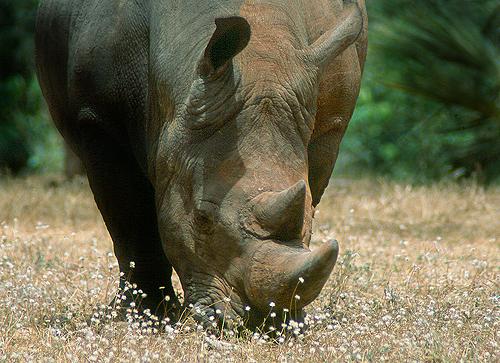 Un rinoceronte blanco en el Parque Nacional de Meru (Kenya). Imagen de J. Y.