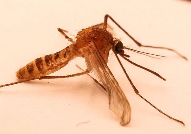 Ejemplar de Culex molestus, el mosquito del metro de Londres. Imagen de Wikipedia.