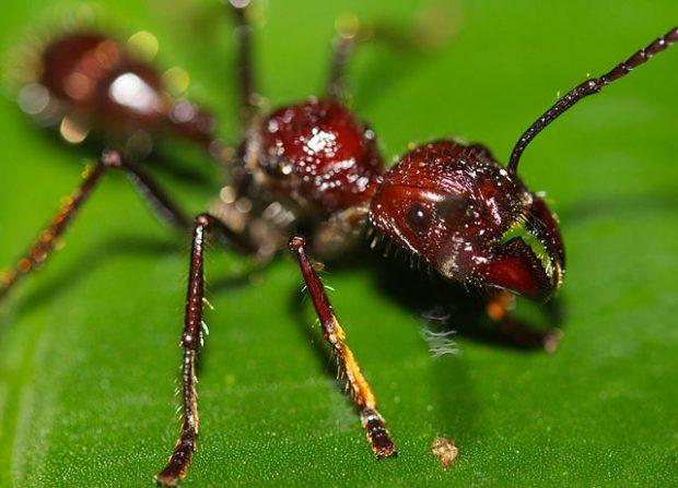 Una hormiga bala (Paraponera clavata). Imagen de Wikipedia.