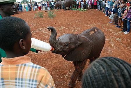 Un cuidador da el biberón a un elefante en el David Sheldrick Wildlife Trust. Imagen de Javier Yanes.