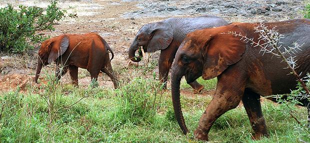 Elefantes huérfanos después de su baño de barro y polvo en el David Sheldrick Wildlife Trust. Imagen de Javier Yanes.