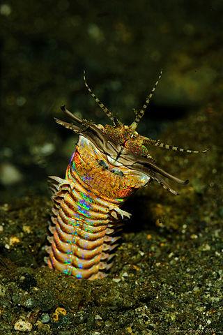 Un gusano marino 'Eunice aphroditois'. Imagen de Wikipedia.