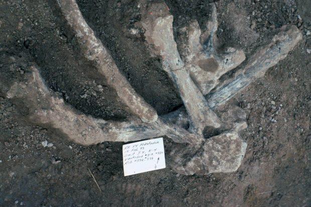 Huesos de mastodonte del yacimiento de California. Imagen de San Diego Natural History Museum.