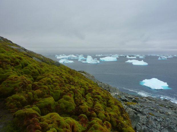 Bancos de musgo en la Antártida. Imagen de Matt Amesbury.