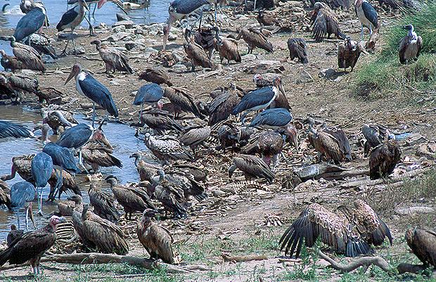 Aves carroñeras alimentándose de ñus ahogados durante la gran migración en el río Mara en la reserva de Masai Mara, junto a la frontera de Kenya con Tanzania. Imagen de Javier Yanes.
