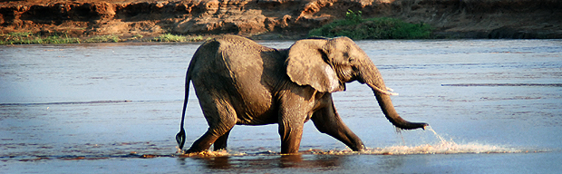 Elefante joven dándose un baño en el río Ewaso Ngiro, Reserva de Samburu. Imagen de Javier Yanes.