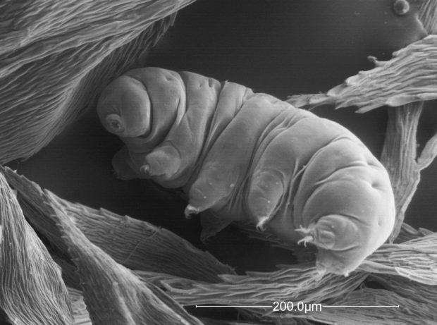 Un tardígrado al microscopio electrónico. Imagen de N. Carrera, Global Soil Biodiversity Atlas.