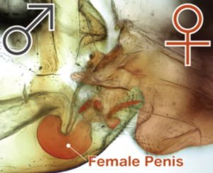 Órganos sexuales del macho y la hembra de Neotrogla. Imagen de Yoshizawa et al., Current Biology.