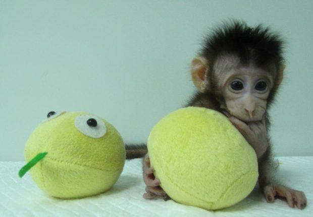 """Zhong Zhong y Hua Hua, los primeros macacos clonados por el """"método Dolly"""". Imágenes de Qiang Sun and Mu-ming Poo / Chinese Academy of Sciences."""
