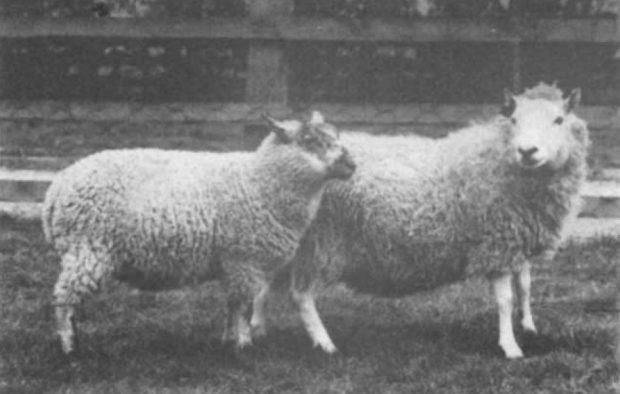 No, no es Dolly. Primeras ovejas clonadas en 1984 por el danés Steen Willadsen. Imagen de Willadsen, Nature 1986.