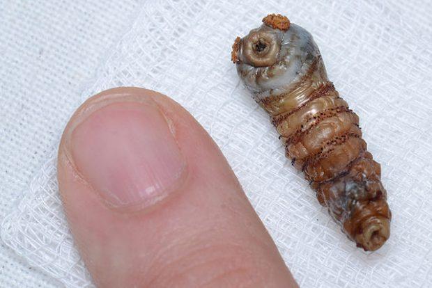Larva de Dermatobia hominis. Imagen de Wikipedia / Geoff Gallice.