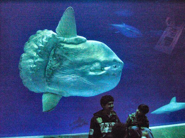 Un pez luna en el acuario de Monterrey (California). Imagen de Fred Hsu / Wikipedia.
