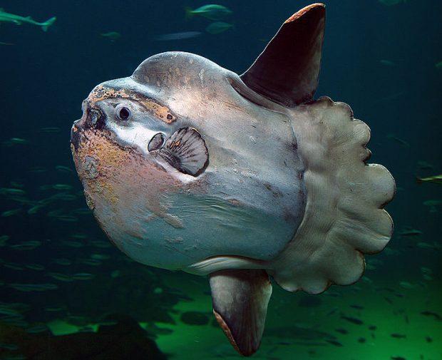 Un pez luna. Imagen de Per-Ola Norman / Wikipedia.