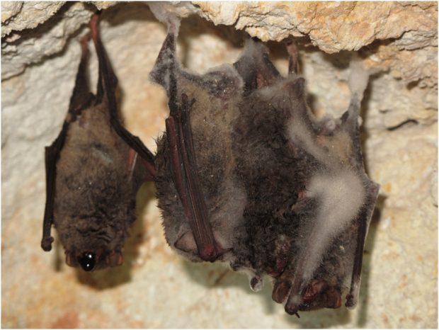 Cadáveres de murciélagos de cueva con signos de hemorragia respiratoria en Hungría, en febrero de 2016. En el ejemplar de la izquierda, el más intacto, se detectó el virus de Lloviu. Imagen de S. Boldogh / Kemenesi et al, Emerg Microbes Infect 2018.