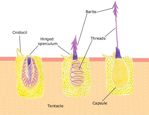 Mecanismo de acción de los cnidocitos o nematocitos. Imagen de Spaully / Wikipedia.
