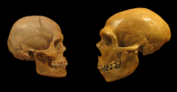 Cráneo de Homo sapiens (izquierda) frente a otro de neandertal. Imagen de hairymuseummatt (original photo), DrMikeBaxter (derivative work) / Wikipedia.