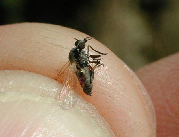 Una mosca negra (simúlido). Imagen de Fritz Geller-Grimm / Wikipedia.