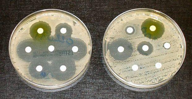 Resistencia a antibióticos: a la izquierda, las bacterias no crecen alrededor de los discos de papel que contienen los fármacos. A la derecha, las bacterias resisten la acción de varios antibióticos. Imagen de Dr Graham Beards / Wikipedia.
