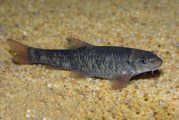 Un pez Garra rufa. Imagen de Dances / Wikipedia.