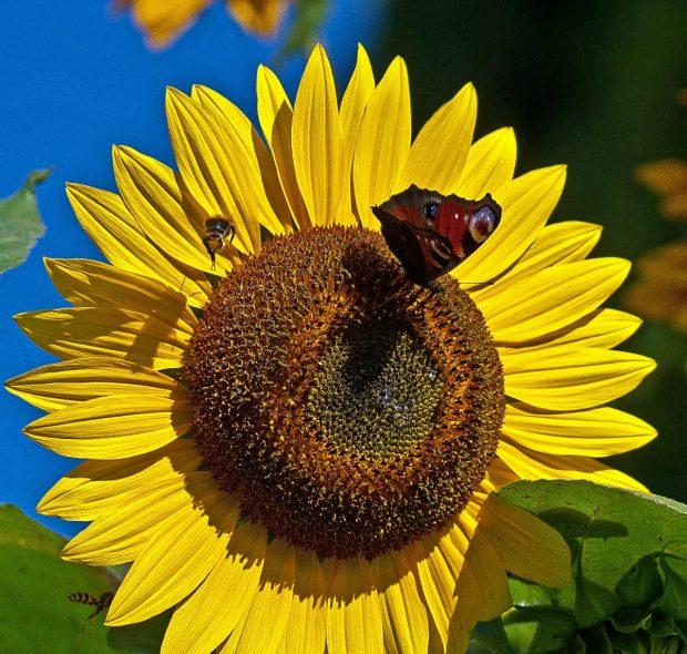 Insectos en un girasol. Imagen de pxhere.