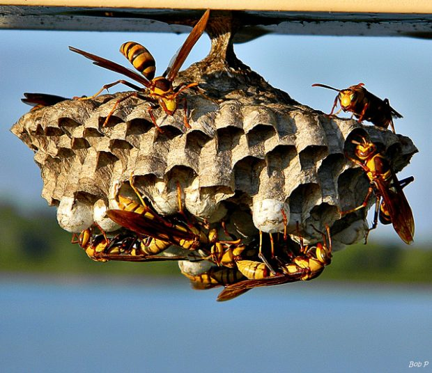 Una colonia en construcción con avispas obreras y huevos. Imagen de Bob Peterson / Flickr / CC.