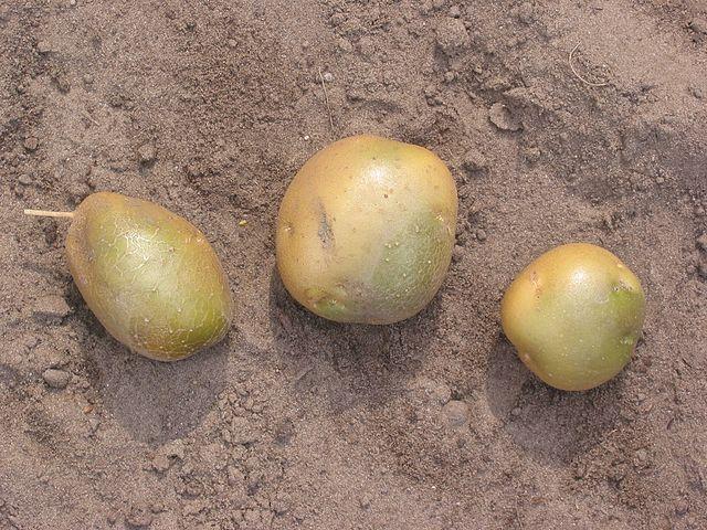 Patatas estropeadas (por su color verde), con alto contenido en solanina. Imagen de Rasbak / Wikipedia.