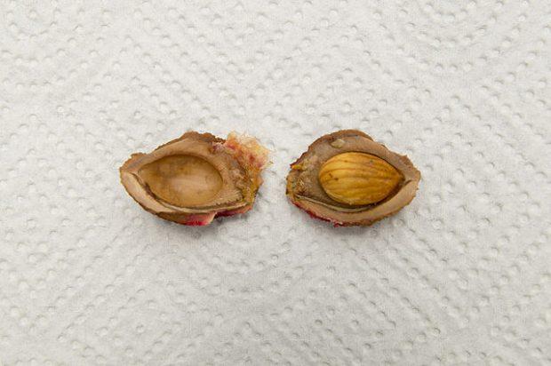Un hueso de melocotón abierto. La amigdalina está en la semilla. Imagen de An.ha / Wikipedia.
