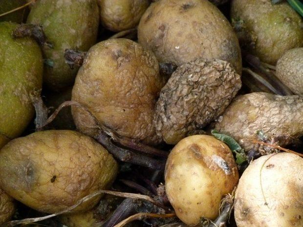 Las patatas podridas contienen solanina. Imagen de pixabay.