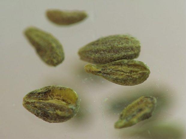 Semillas de anís. Imagen de Ben_pcc / Wikipedia.