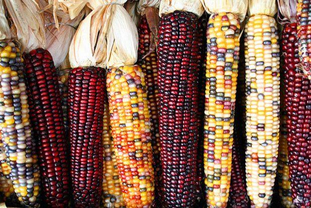 Mazorcas de maíz de distintas variedades. Imagen de Asbestos / Wikipedia.