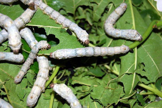 Gusanos de seda. Imagen de Fastily / Wikipedia.