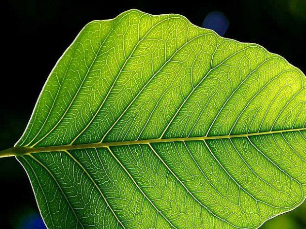 La nervadura de una hoja. Imagen de Jon Sullivan / Wikipedia.