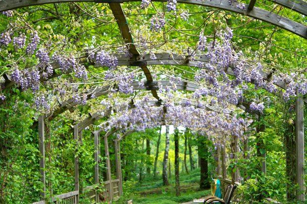 Flores de glicina (Wisteria). Imagen de pixabay.
