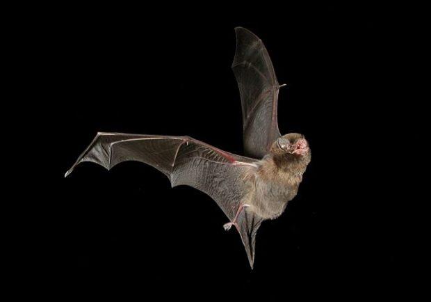 Un murciélago de cueva Miniopterus schreibersii, la especie en la que se encontró el virus de Lloviu. Imagen de Steve Bourne / Wikipedia.