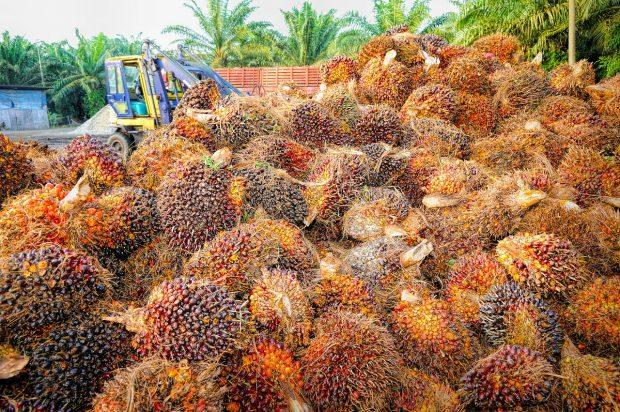 Recolección de fruto de aceite de palma. Imagen de pixabay.
