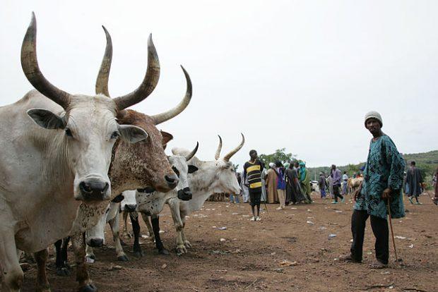 Mercado de ganado en Mali. Imagen de ILRI / Wikipedia.