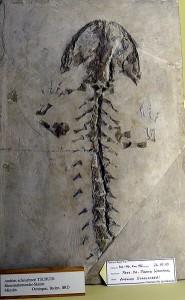 Fósil salamandra