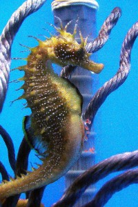 Macho Hippocampus guttulatus