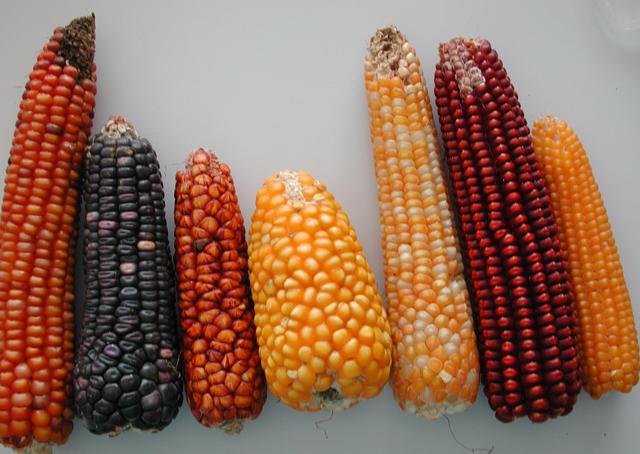Resultado de imagen para El Maiz, clases, formas, color y tipo de granos