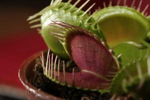 Dionaea muscipula utiliza la trampa de las mandíbulas para agarrar a sus presas / Wikipedia