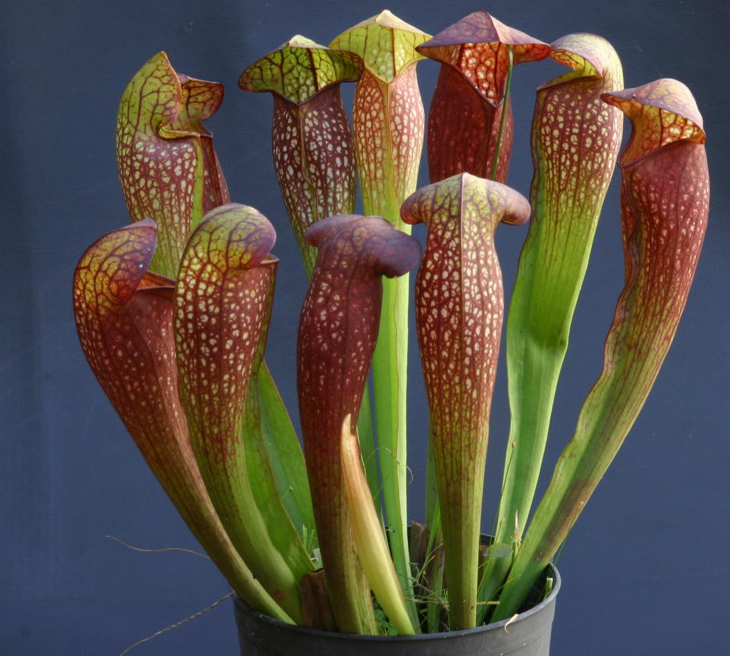 Plantas carn voras estas son sus trampas mortales - Ver plantas de interior ...