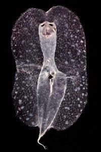 Expedici—n Malaspina 2010 Im‡genes de zooplancton muestreado en el Leg 5 entre Auckland y Honolulu. Heter—poda. Hembra de la especie Pterosoma planum. Pertenecen a un grupo de caracolas depredadoras que viven en el OcŽano Pac'fico. Pueden crecer hasta los tres o cuatro cent'metros. Es una especie carn'vora que caza peces y otras caracolas y babosas. © JOAN COSTA