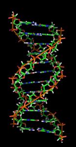 Estructura de doble hélice de la molécula de ADN. Richard Wheeler (Zephyris) en.wikipedia.